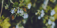 Honey-to-Bee 🐝VIII🐝 (Vincent Monsonego) Tags: sony α αlpha alpha ilce7rm2 a7rii a7r2 sonyalphadslr sonyalpha fe 2470mm f28 gm 2470mmf28gm sel2470gm bee macro nature bokeh