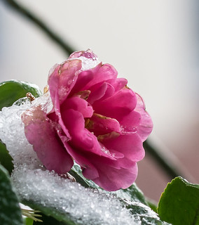 Winter Red Rose.