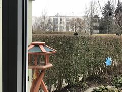 Blackbirds (tabbynera) Tags: blackbird