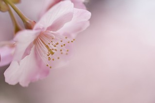 Early blooming cherry blossoms #2