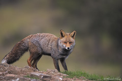 magnetic look (a.chiezzi) Tags: volpe fox andalucia andalusia spain spagna mammals