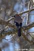 Garrulus glandarius (Lineu, 1758) (Luís Gaifém) Tags: garrulusglandarius passeriformes corvidae gaiocomum gaio eurasianjay jay heregääggi herevogel gai gayo gayu adizığzığ gaig sojkaobecná ghjandaghja ysgrechycoed sgrechycoed skovskade eichelhäher pasknäär arrendajoeuroasiático eskinoso gnelliskjóra geaideschênes houtekster scréachóg pegamarza pegarebordá škrěkawa šojka skrækskaði ghiandaia bûrek qirikabelek sīlis eirāzijassīlis kėkštas euraziniskėkštas närhi szajkó európaiszajkó gaai vlaamsegaai mariekolver heeger nøtteskrike nøtteskrikje sójkazwyczajna sójka sójkażołędziówka gaiţă сойка ciàula sojkaobyčajná sojkaškriekavá šoja nötskrika bayağıalakarga luísgaifém ave pássaro bird campeã vilareal