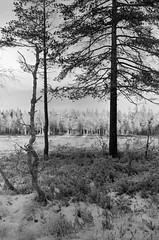 White trees and black (sterileeye) Tags: fujifilm fuji fujica fujigw690iii gw690iii gw690 bergger berggerpancro400 pancro400 frost winter forest woods oslo snow