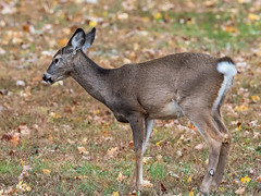 IMGPJ23710_Fk - O'Bannon State Park - Deer (David L. Black) Tags: obannonstatepark stateparks olympusomdem1mkii olympus300f40