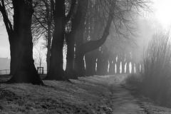 Lime Tree Avenue (Macro light) Tags: limetrees winter worcester riversevern racecourse blackandwhite foggy fog sunshine