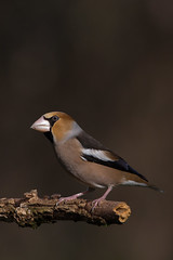 Grosbec casse-noyaux - Coccothraustes coccothraustes - Hawfinch (patricia.hoedts) Tags: france ariège mazères domainedesoiseaux grosbec cassenoyaux coccothraustescoccothraustes hawfinch ddo bird canon canon6d sigma sigma150600contemporary