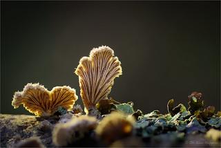 Schizophyllum (III)