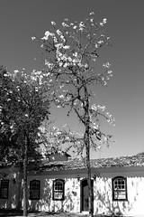 Tiradentes-MG (Johnny Photofucker) Tags: tiradentes minasgerais mg brasil brazil brasile lightroom preto branco 24mm black white nero bianco noiretblanc ipê tree albero árvore ipêamarelo casa house cidadehistórica cidadeshistóricas