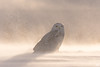 ''Poussière d'or!'' Harfang des neiges-Snowy owl (pascaleforest) Tags: oiseau bird animal owl hibou passion nikon nature winter hiver snow vent snowy lumière light canada québec wild widllife faune poudrerie or gold