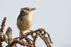 褐頭鷦鶯-2 (Ah-TaiTai) Tags: 台灣 taiwan 台南 七股 自然 生態 野生 動物 鳥 飛羽 羽毛 靜態 d5500 nikon natural wild animal bird