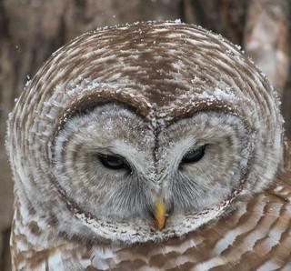 Barred Owl (Large)