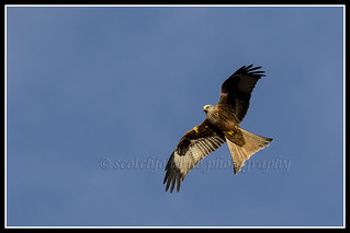 IMG_0154 Red Kite