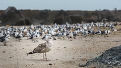 Loner (mjhedge) Tags: fortclinch fortclinchstatepark fernandinabeach fernandina ameliaisland florida a7riii sony bird birds gulls seagulls beach sand 24105 fe24105f4 fortclinchbeach