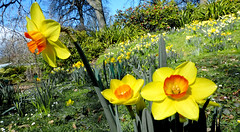 Narcissus.  daffodil. (Bernard Spragg) Tags: narcissus daffodil lumix flora spring yellow bulbs gardens parks