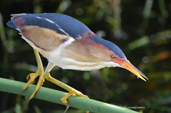least bittern Ixobrychus exilis  (c) 2014 AnneDuPont. All Rights Reserved.