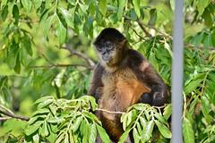 Spider monkey (Las Isletas) (zug55) Tags: geoffroysspidermonkey spidermonkey lagodenicaragua lakenicaragua lagonicaragua lago lake lagococibolca lakecocibolca cocibolca nicaragua mardulce granlago granlagodulce lagodegranada granada lasisletas monkey ateles blackhandedspidermonkey atelesgeoffroyi