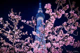Spring has Sprung, Tokyo Skytree with Cherry Blossoms