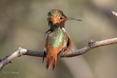 Allen's Hummingbird (C.S. Wood) Tags: coth coth5 ngc specanimal specanimalphotooftheday npc