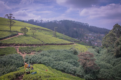 850_2506 (stephho2015) Tags: tea ceylon teaplantation srilanka