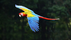 Macaw (timjhopwood) Tags: macaw flight hybrid scarlet green