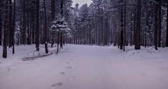 Marzo pazzerello (Alessio Bertolone) Tags: neve snow landscape paesaggio winter inverno foresta forest alberi trees pini abeti firs freddo cold trentino italia italy it nikon d7000 1685mm alessiobertolone