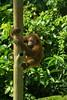Young orangutan climbing (Xnalanx) Tags: activity ape asia borneo malaysia mammals orangutan places playing sandakan sepilokorangutanrehabilitationcentre wildlife