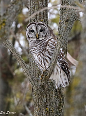 Barred Owl (Sue D Sharpe) Tags: barredowl owl perched woods winter ontario
