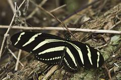 Zebra Heliconian (ninjabirder) Tags: december2016 texasdecember2016 texas zebraheliconian butterflies