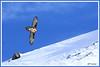 Gypaète crête 180115-01-P (paul.vetter) Tags: oiseau ornithologie ornithology faune animal bird gypaètebarbu gypaetusbarbatus bartgeier quebrantahuesos beardedvulture vautour rapace