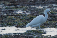 IMG_2901 (armadil) Tags: mavericks beach beaches californiabeaches bird birds egret snowyegret