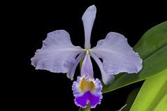 Cattleya trianaei coerulea (Ramsis'07) Tags: cattleyatrianaeicoerulea cattleya yellow purple orchid orchidaceae flower green species