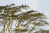 Serengeti NP - Tanzania (Nick Dean1) Tags: gypsrueppelli vulture ruppellsgriffonvulture animalia chordata aves acacia acaciatree raptor birdperfect birdwatcher tanzania serengeti serengetinationalpark falconiformes safari gyps griffon ngc