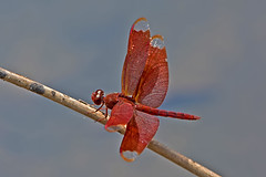 Neurothemis fulvia - the Fulvous Forest Skimmer (BugsAlive) Tags: dragonfly libellule libellula แมลงปอ 蜻蜓 стрекоза animal outdoor insect odonata macro nature libellulidae neurothemisfulvia fulvousforestskimmer wildlife obkhannp chiangmai liveinsects thailand bugsalive