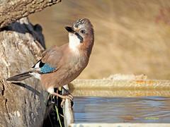 Arrendajo euroasiático (Garrulus glandarius)  (135) (eb3alfmiguel) Tags: aves passeriformes corvidos coracidae arrendajo euroasiático garrulus glandarius corvidae pájaros