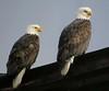 Bald Eagle Pair (Shelley Penner) Tags: vancouverisland birds raptors eagles bald whitehead white tail