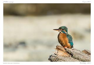 Martin pêcheur | Alcedo atthis | Common Kingfisher