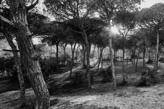 jlvill  075 Sol poniente entre pinos (jlvill) Tags: blanconegro bn bw monocolor arboles pinos ocaso atardecer 1001nights 1001nightsmagiccity