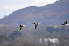 Brant Geese flying (FergalSandra) Tags: dundalk louth ireland goose geese brant