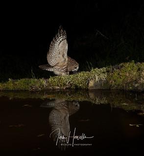 Tawny Owl reflection