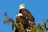 Bald Eagles (Agrestic13) Tags: minolta70210beercan bald eagles edmonds washington sony a200 seattle puget sound backyard