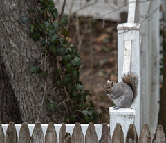 P2125943 (Paul Henegan) Tags: 67crop fence post selectivefocus squirrel yard hff
