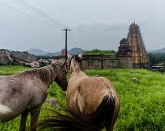 Hampi   2017 (Vijayaraj PS) Tags: india iamnikon nikond3200 asia incredibleindia travelphotography outdoor animal 2017 travel horse temple tail horsetail