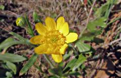Buttercup (TJ Gehling) Tags: plant flower ranunculales ranunculaceae buttercup ranunculus pointmolatebeachpark pointmolate richmondca