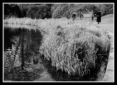 Reeds Fuji Neopan (veggiesosage) Tags: blackandwhite newsteadabbey nottinghamshire gx20 garden dxofilmpack