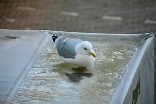 Gull discovers ice