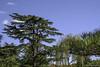 Árvore de Pinha (eliseteshiraishi) Tags: abeto agulhas agulhasdepinheiro conedeconíferas conesdepólen conífera evergreen famíliadagrama famíliadepalmeiras famíliapinho florestadeconíferastemperada galhodepinho japan landscape lariço macro madeiramacia noperson pervinca plantadeflorescência plantadeterra plantalenhosa sãoescalas arbusto arvore botânica colorful daytime decoração decoraçãodenatal flor flora folha galho galhos madeira nature natureza outdoor pinha pinhanatalina pinhas pinheiro pinho plantar produzir raminho ramo ramodepinho ramos silvicultura toque trees árvore árvores nagoyashi aichiken japão gettyimagesjapan gettyjapan gettyimage gettyimages sky getty tsuruma céu leaves aichiprefecture turismolocal tranquilscene serenity tsurumaipark postcard nagoya colorsofautumn