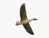 Greylag (roger_forster) Tags: greylag goose flying anseranser wild bird gloucestershire wwt slimbridge