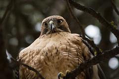 Red-tailed Hawk (Jon David Nelson) Tags: redtailedhawk buteojamaicensis raptors birdsofprey education conservation centraloregon highdesert wildlife