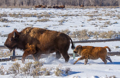 Mum and baby bison (scepdoll) Tags: elkflatsturnout grandtetonnationalpark highway89 jackson jacksonhole moran rockymountains tetons wyoming bison bisoncrossing snow winter