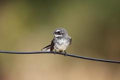 Grey Fantail (Rhipidura albiscapa) (Harlz_) Tags: greyfantail rhipiduraalbiscapa bird australian native canon 5dmarkii 500mm victoria